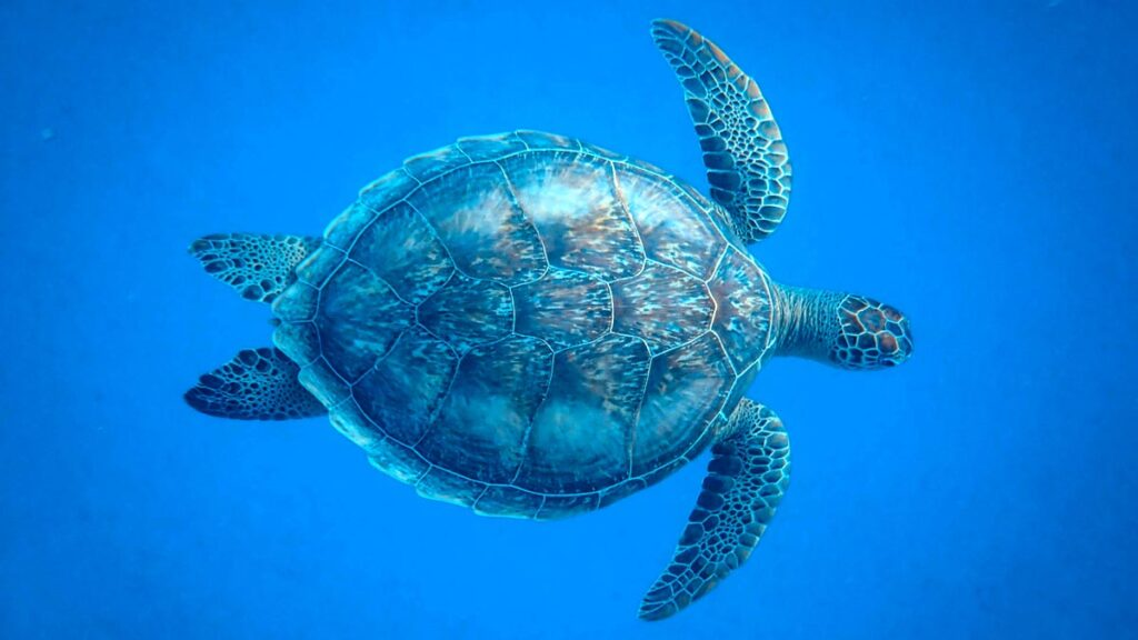 sea-turtle-swims