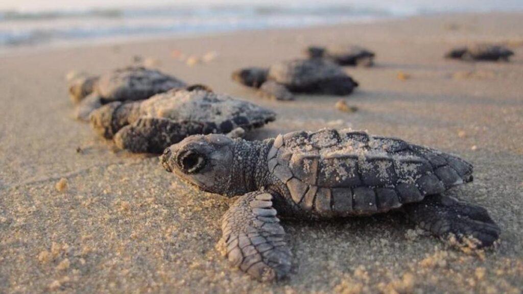 sea-turtles-brevard